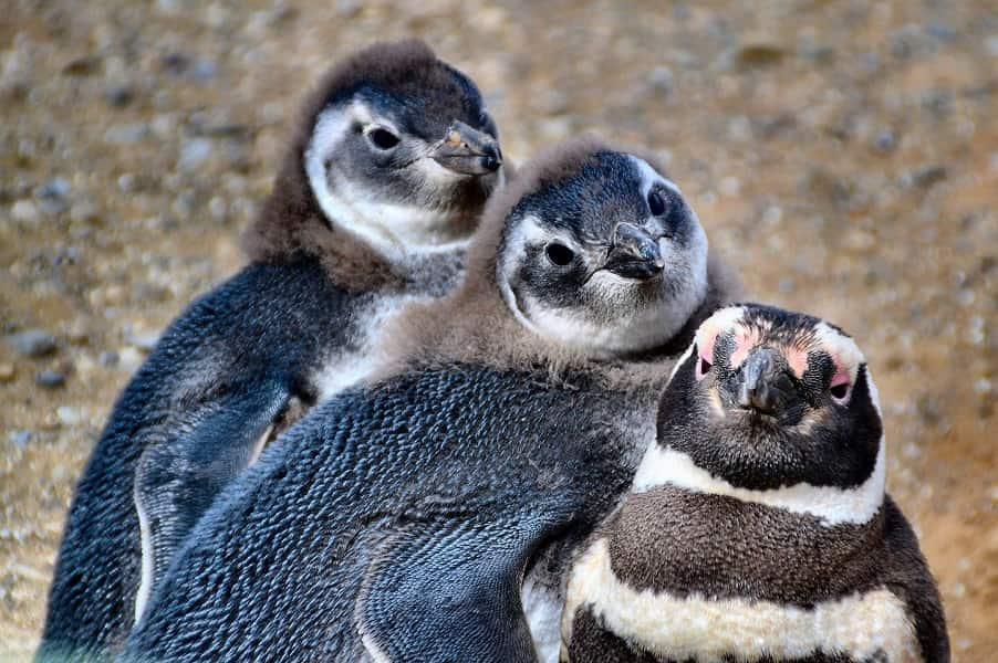 Поездка в Чили. Патагония. Пингвины на острове Марты