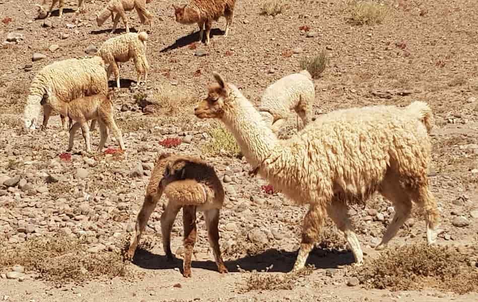 Туры в Чили. Пустыня Атакама. Ламы