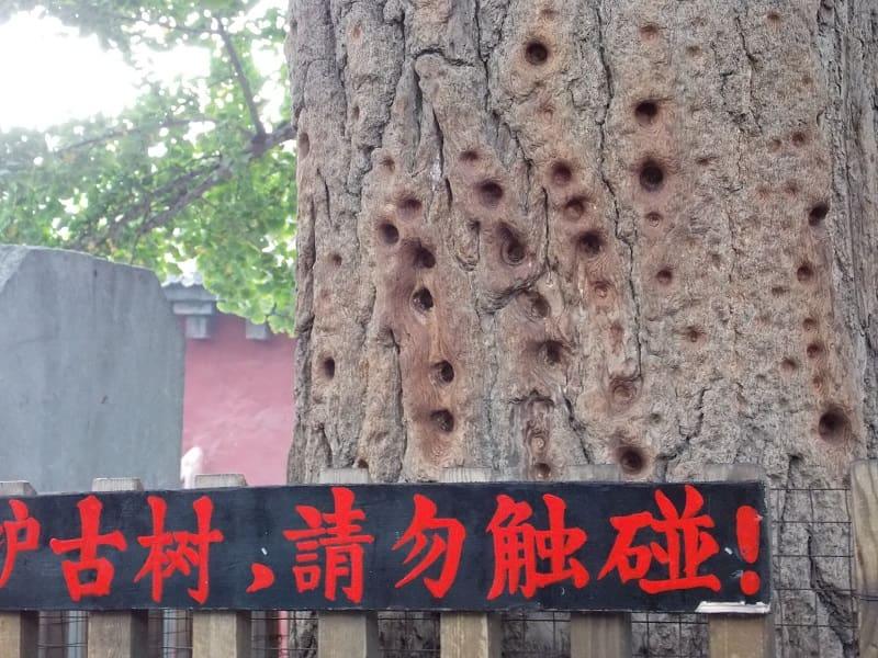 Лоян. Древнее дерево для тренировки монахов монастыря Шаолин