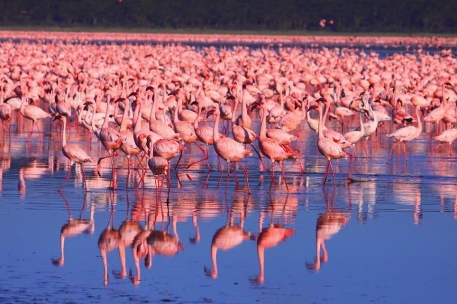 Экскурсионные туры в Кению. Озеро Накуру. Розовые фламинго