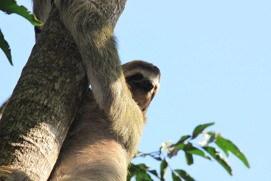 Экскурсионные туры в Коста Рику. Ленивец фото