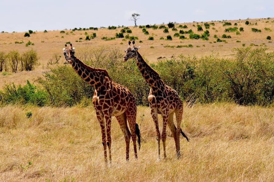 Экскурсионные туры в Танзанию. Серенгети. Жирафы