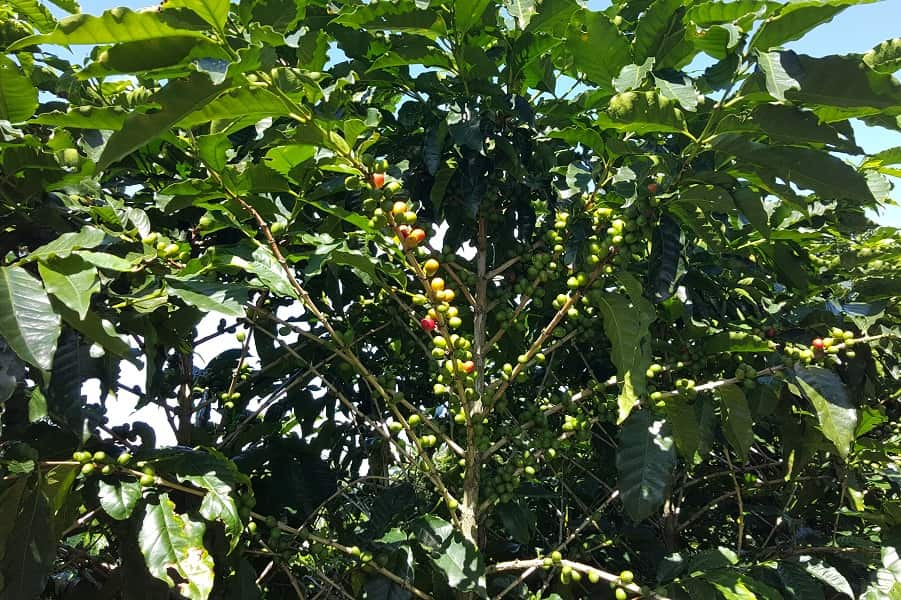Групповые туры в Коста Рику. Кофейное дерево