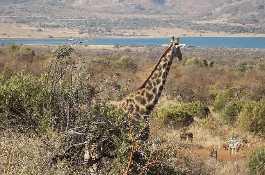 Групповые туры в ЮАР. Сафари в Пиланесберге