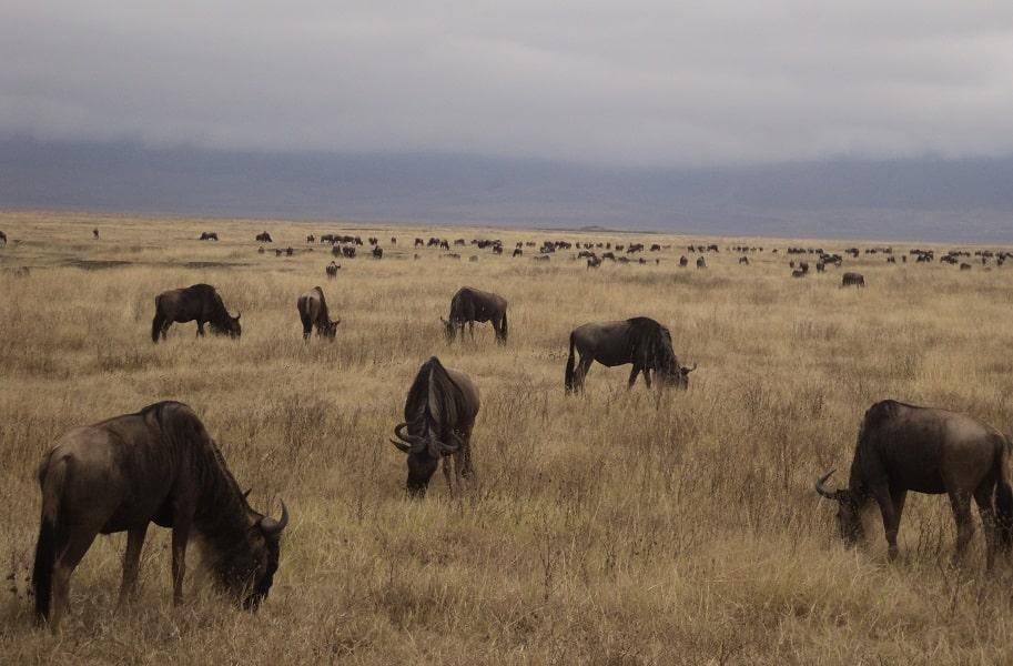Индивидуальные туры в Танзанию. Серенгети. Антилопы Гну