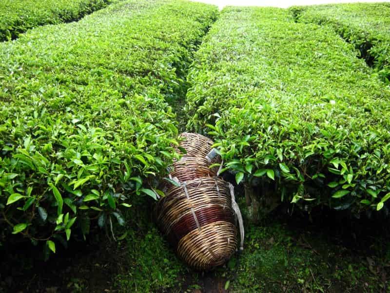 Туры в Малайзию. Нагорье Камерон. Чайные плантации.