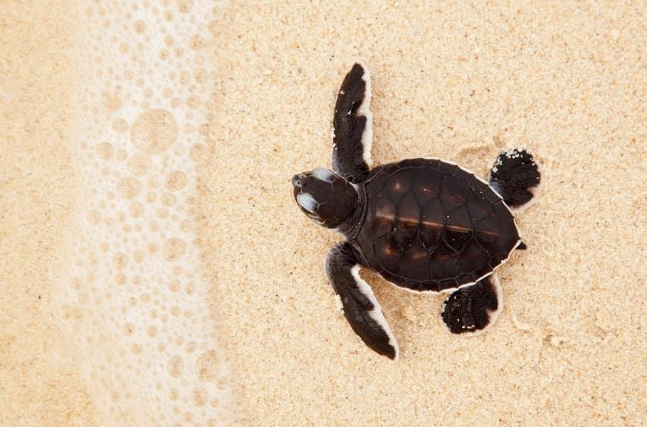 Отдых на острове Селинган. Морская черепашка.