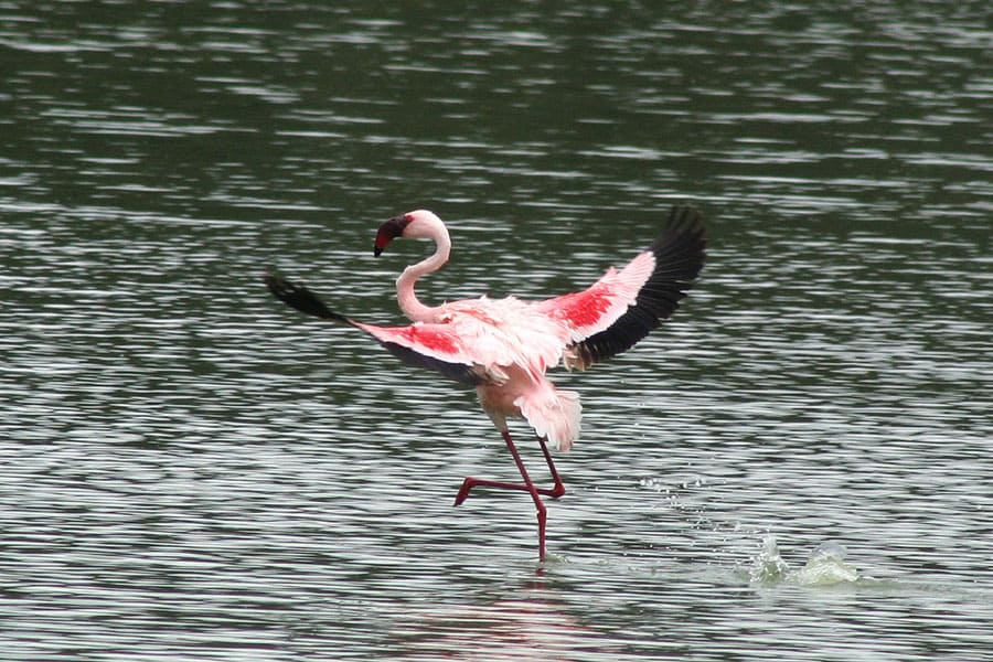 Отдых в Кении на Озере Накуру. Фламинго