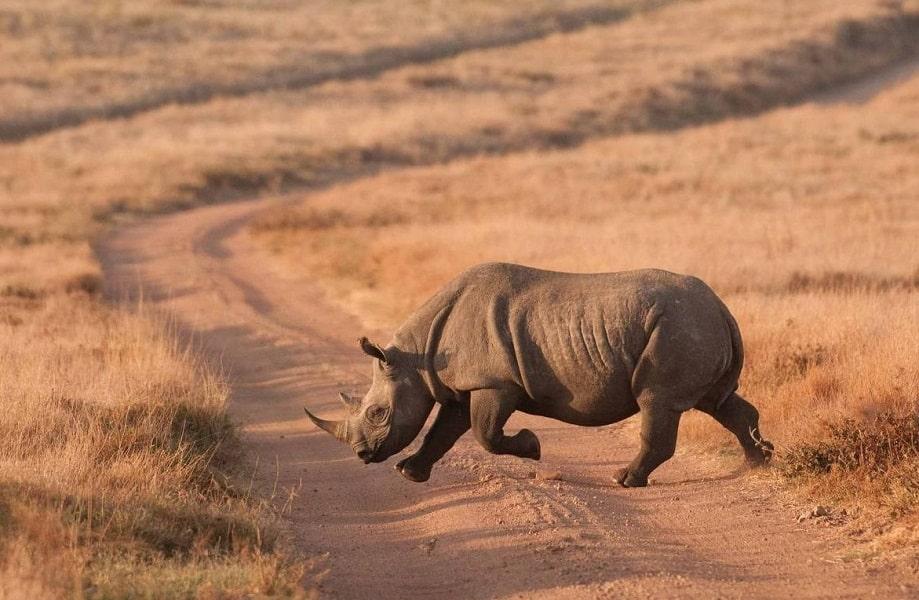 Отдых в Кении. Национальный заповедник Самбуру. Носорог