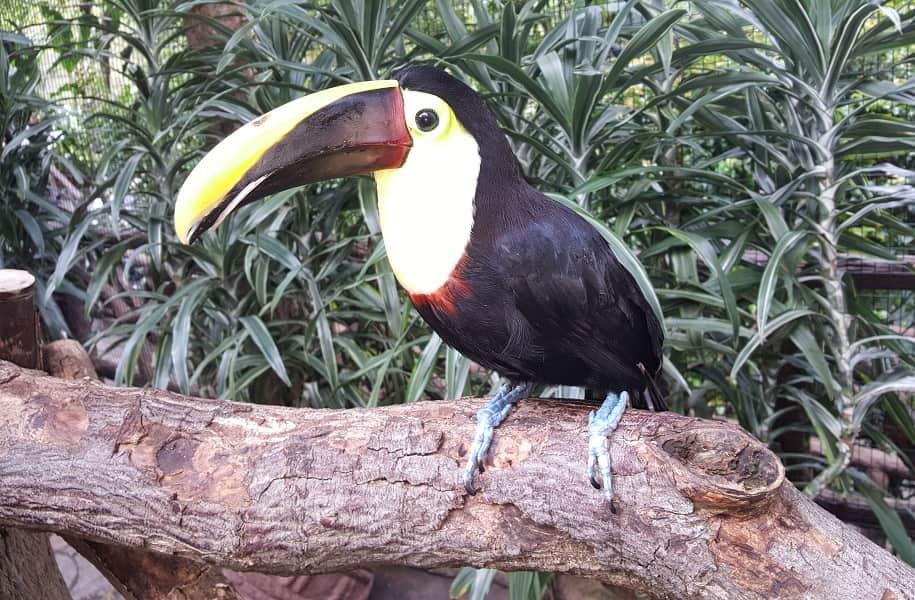 Отдых в Коста Рике. Тукан в зоопарке