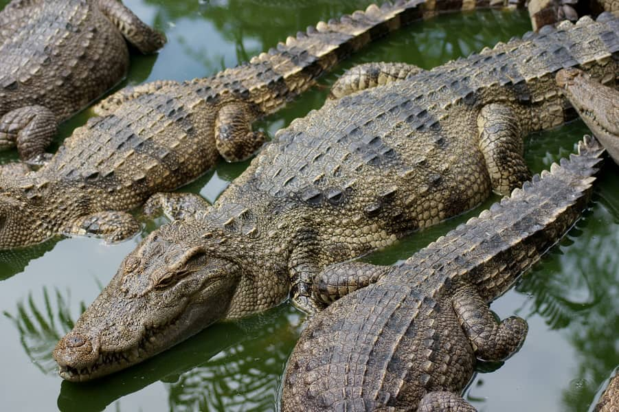 Отдых в Тайланде. Паттайя. Крокодиловая ферма фото