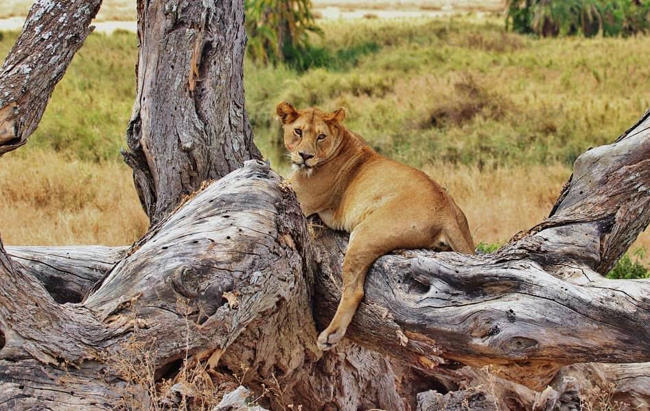 Отдых в Танзании. Серенгети. Львица фото