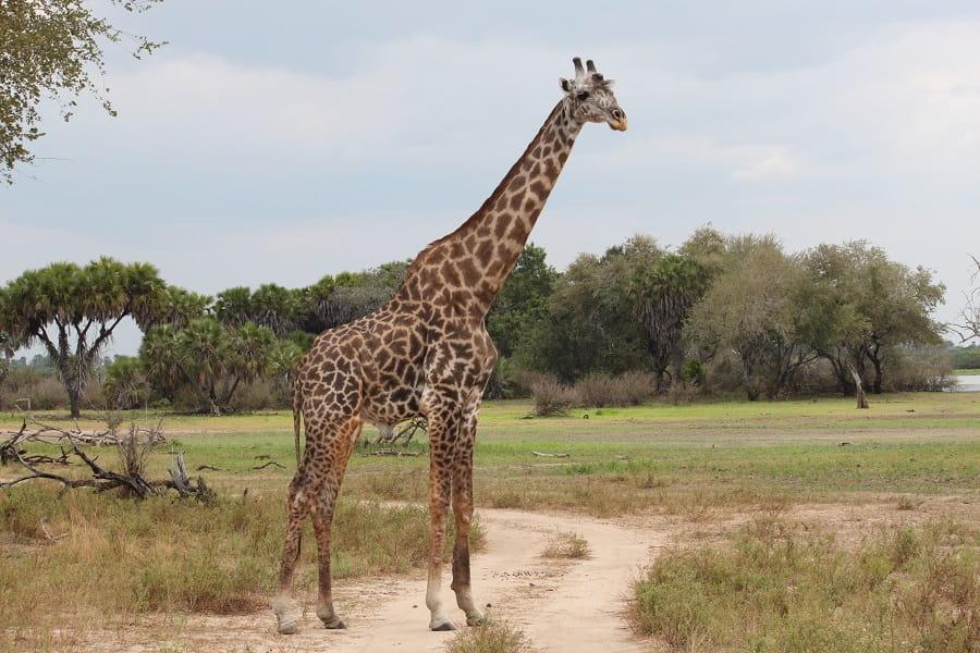 Отдых в Танзании. Серенгети. Жираф с саванне
