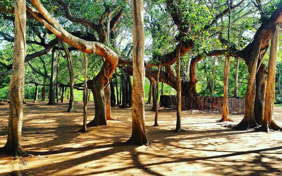 Поездка в Индию. Пондичерри. Ауровиль. Деревья