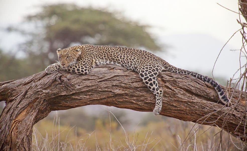 Поездка в Кению. Леопард на отдыхе