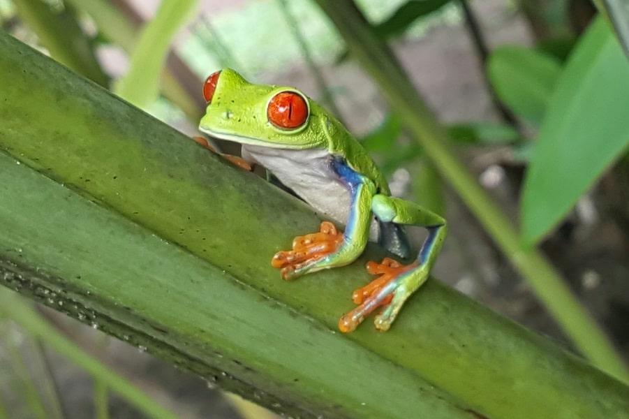 Поездка в Коста Рику. Красноглазая квакша