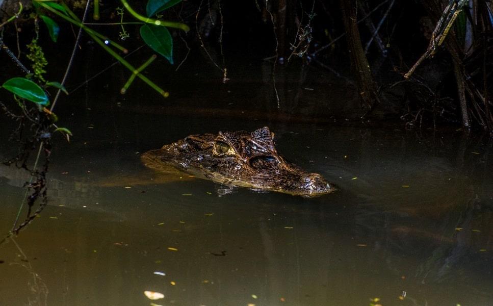 Поездка в Коста Рику. Тортугеро. Крокодильчик