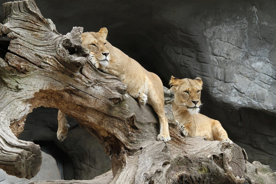 Поездка в Танзанию. Львы фото