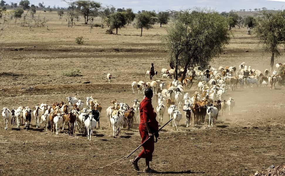 Поездка в Танзанию. Серенгети. Пастух и стадо коз