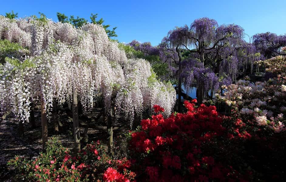Поездка в Японию на цветение глициний