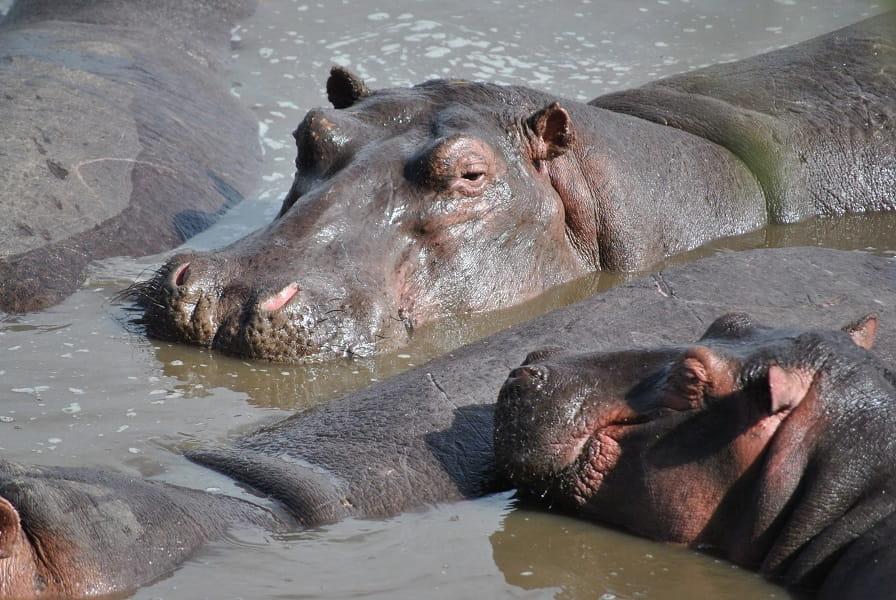 Путешествие в Кению. Лежбище бегемотов