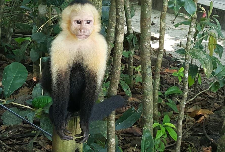 Путешествие в Коста Рику. Обезьяна капуцин