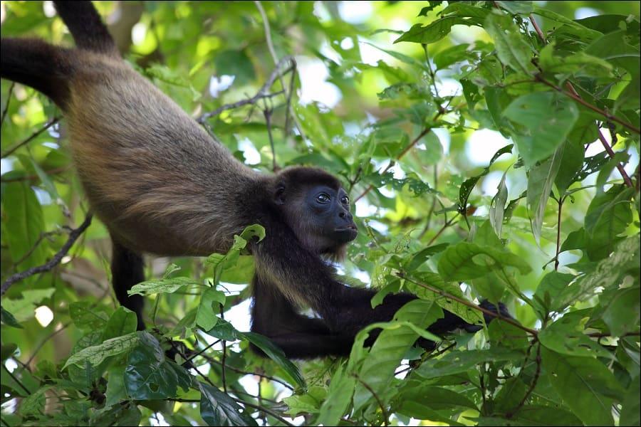 Путешествие в Коста Рику. Обезьяна ревун