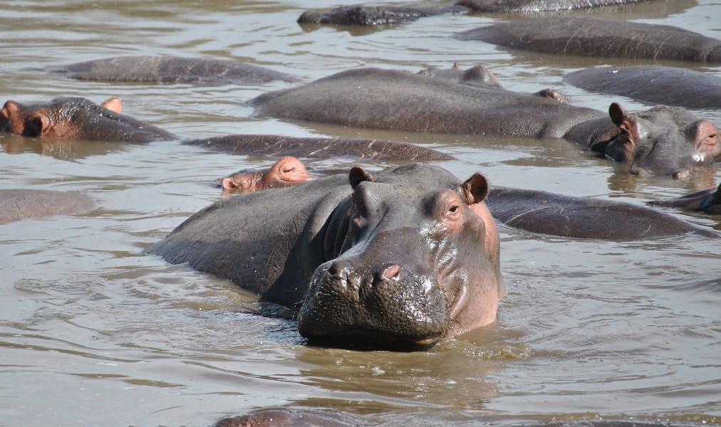 Путешествие в Танзанию. Бегемотики на отдыхе фото