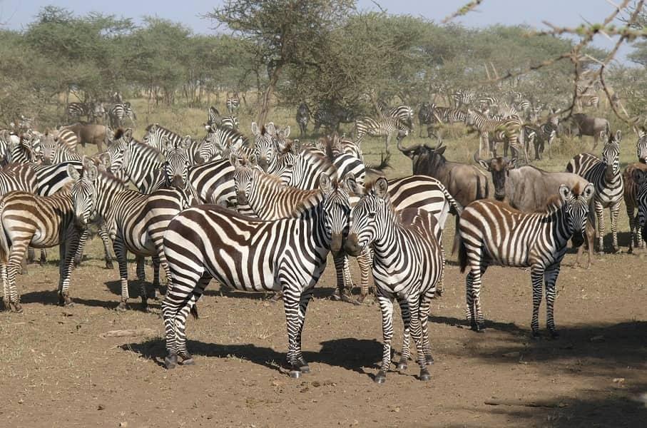 Путешествие в Танзанию. Зебры