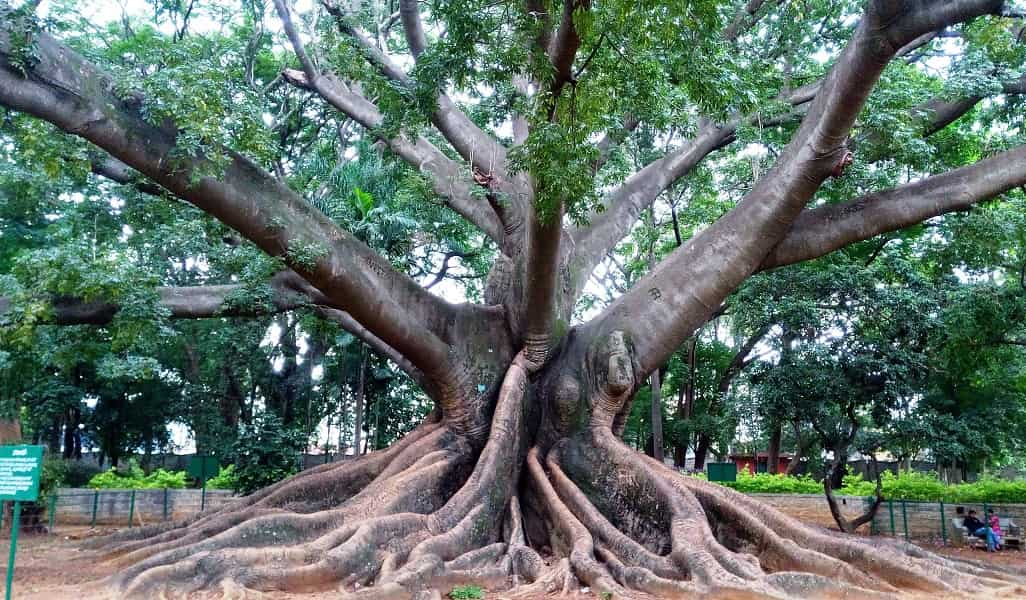 Путевка в Индию. Бангалор. Ботанический Парк. Дерево