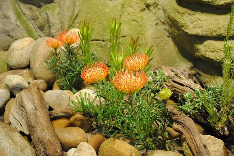 Путевка в ЮАР. Национальный цветок протея