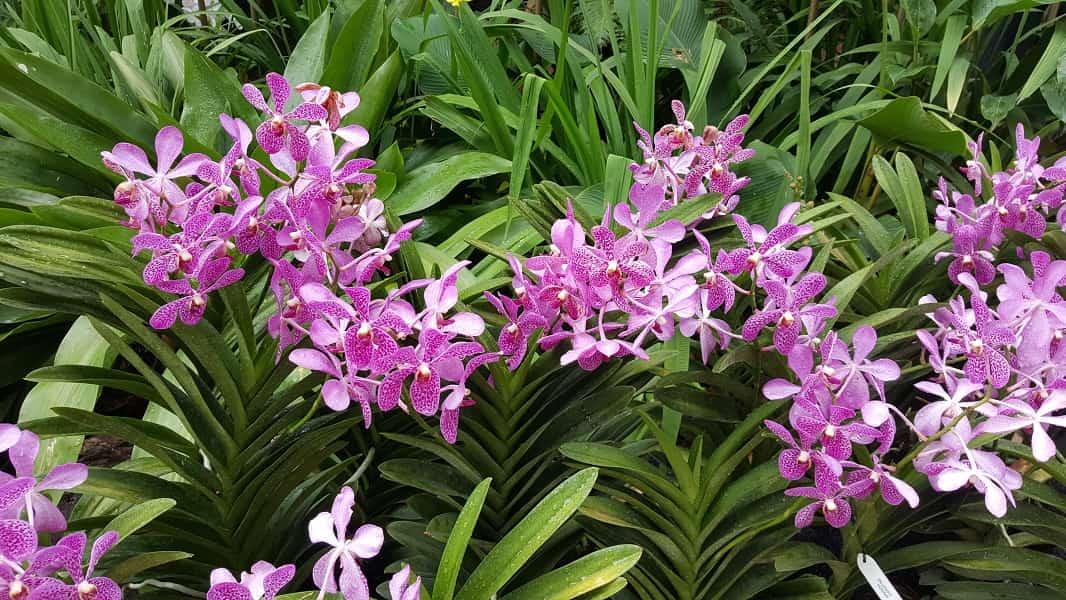Путевки в Сингапур. Ботанический сад. Орхидеи фото