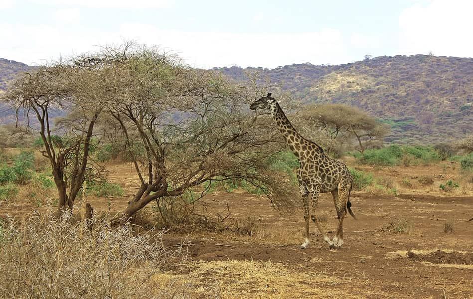 Сафари в Танзании. Нгоронгоро. Жираф