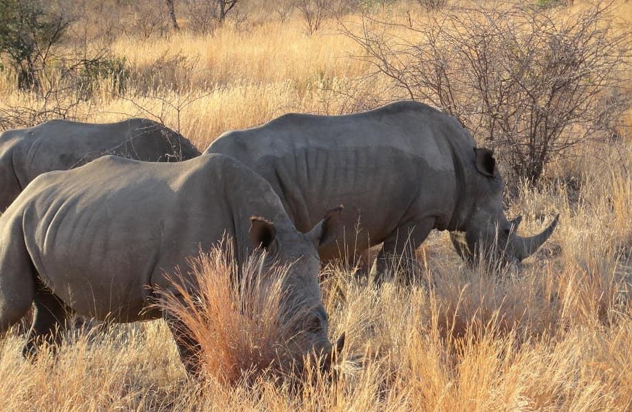 Сафари в ЮАР. Носороги в Пиланесберге
