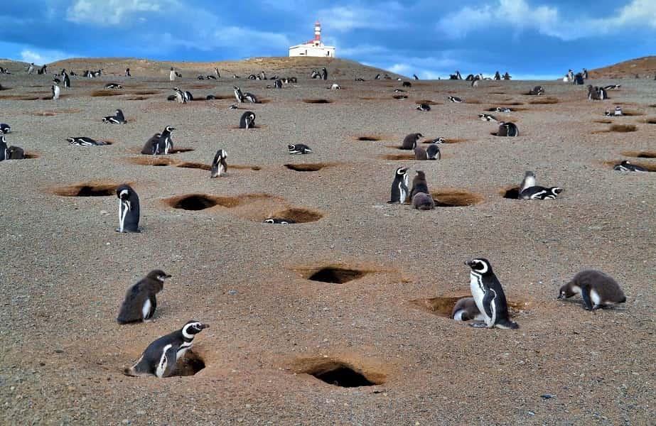 Туры в Чили. Колония пингвинов на острове Магдалены