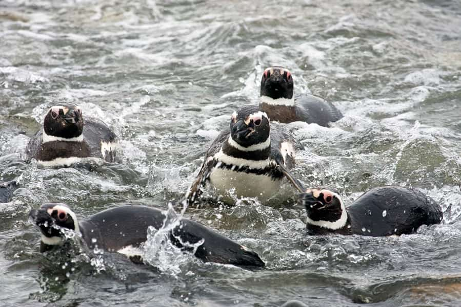 Поездка в Чили. Пингвины Патагонии