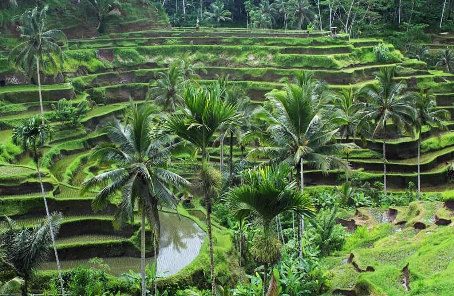 Туры на Бали. Рисовые террасы в Убуде