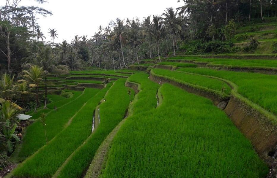 Туры в Индонезию. Убуд. Рисовые террасы фото
