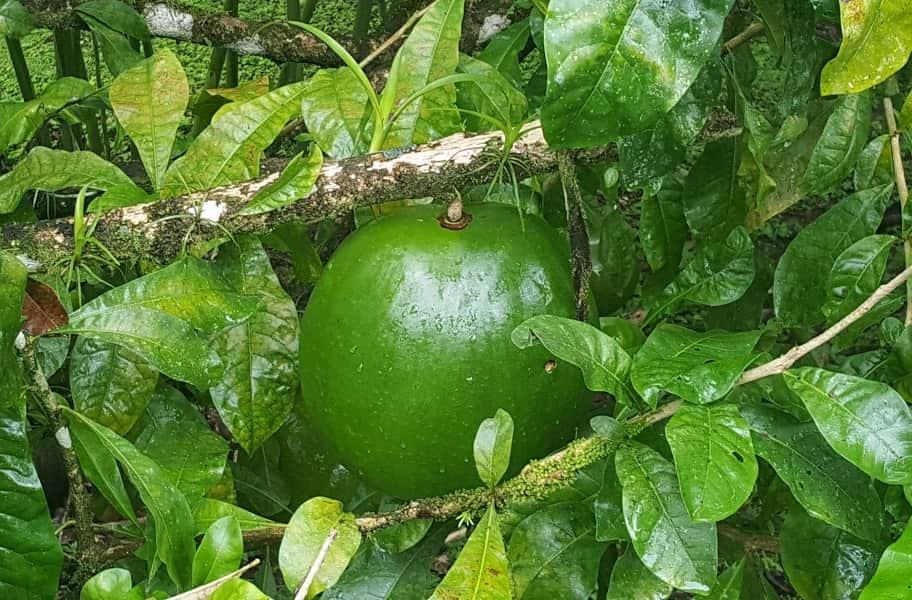 Туры в Коста Рику. Экзотические плоды