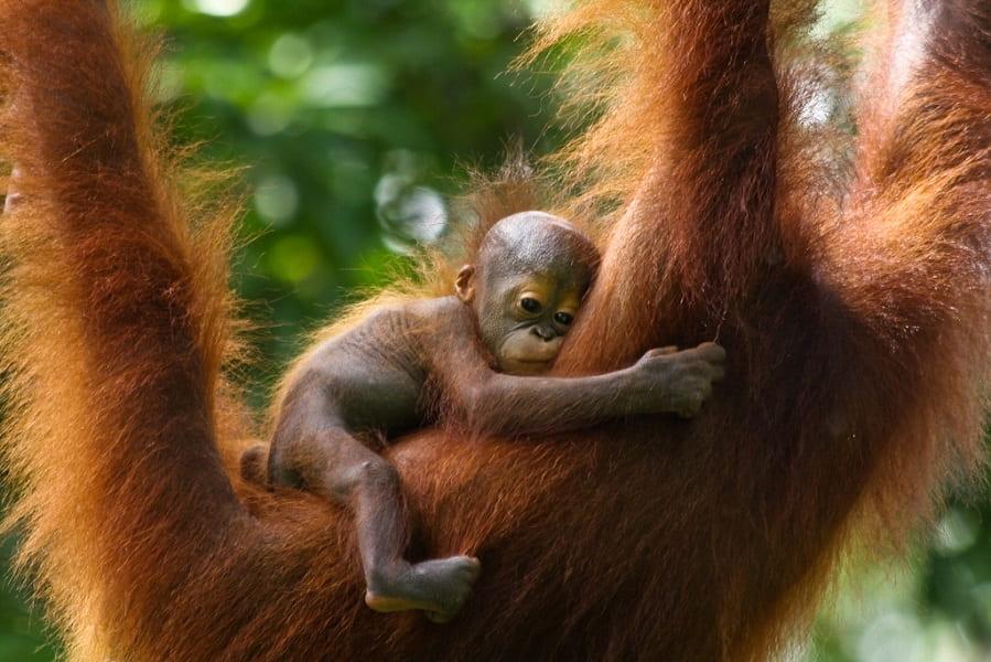 Туры в Малайзию. Детеныш орангутанга фото