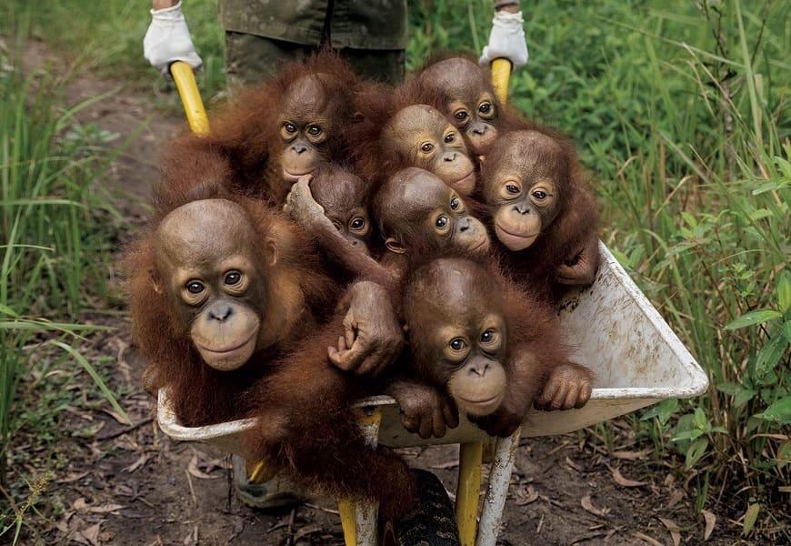 Туры в Малайзию. Детеныши орангутангов