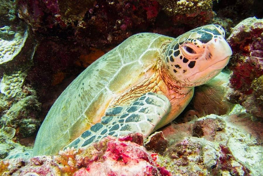 Туры в Малайзию. Остров Сипадан. Морская черепаха