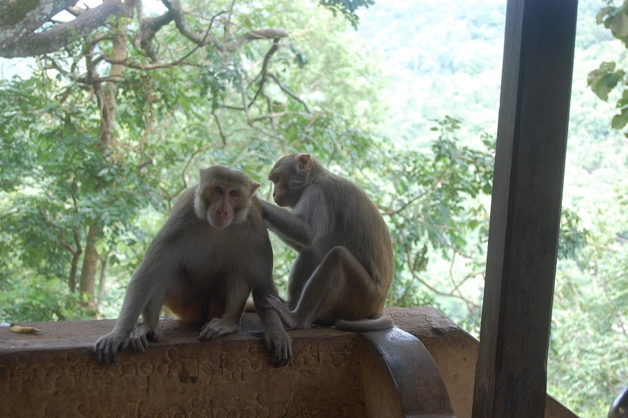 Туры в Мьянму. Обезьянки на горе Попа фото