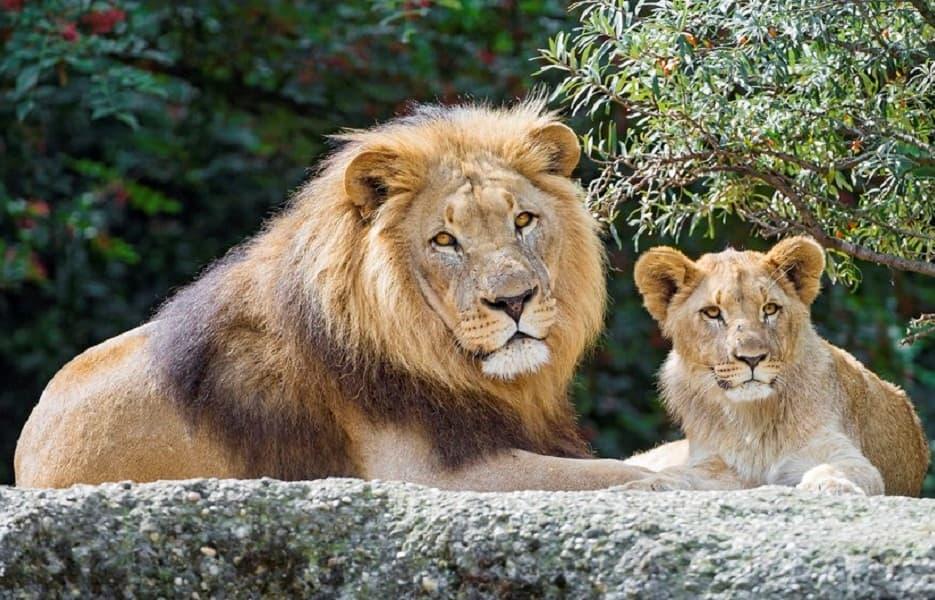 Тур в Национальный парк Крюгера. ЮАР. Лев со львенком