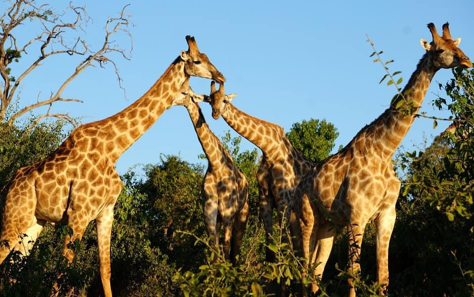 Тур в Национальный парк Крюгера. ЮАР. Жирафы