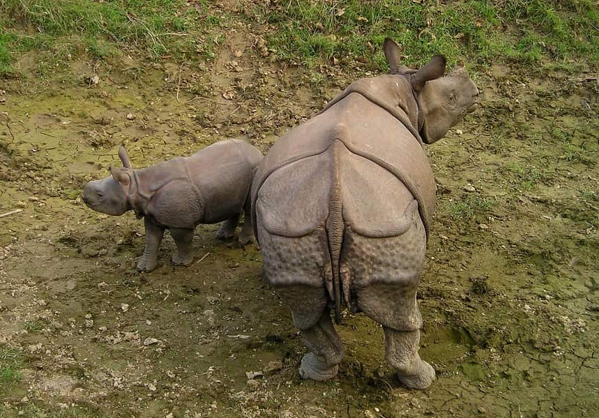 Туры в Непал. Читван. Носороги. мама и детешыш