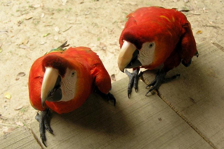 Ручные попугаи Амазонка Перу