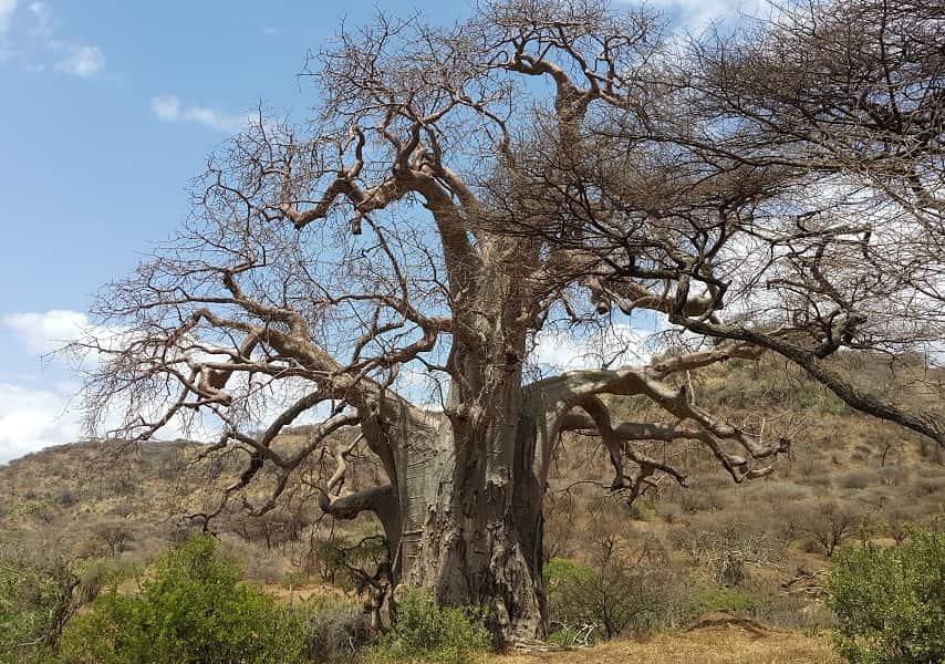Туры в Танзанию. Нгоронгоро. Баобаб