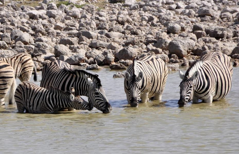 Туры в Танзанию. Тарангире. Три зебры