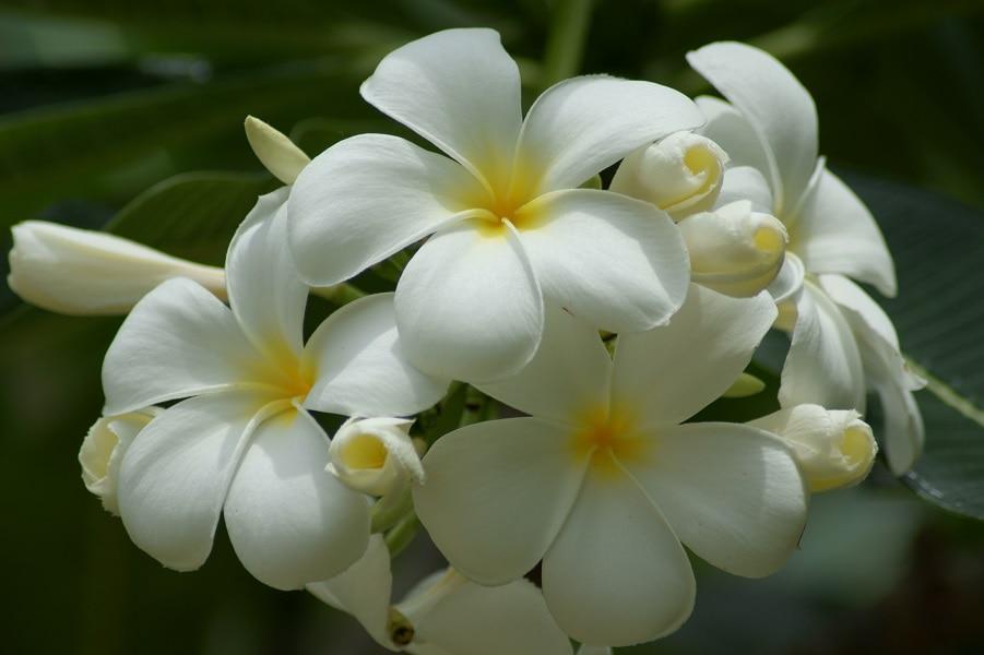 Туры в Тайланд. Тайские национальные цветы